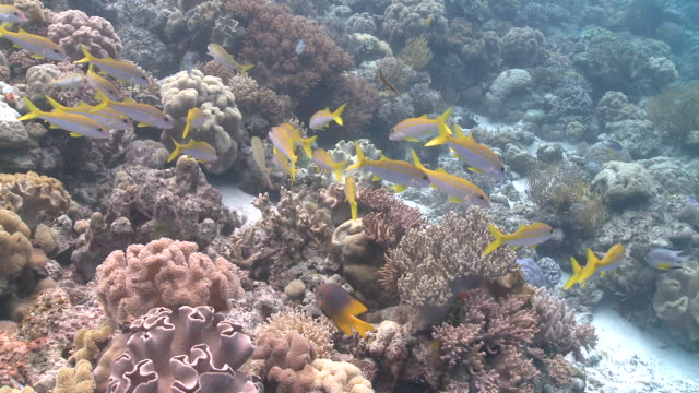 yellow striped goatfish (mulloidichthys vanicolensis) on reef  - goatfish stock videos & royalty-free footage
