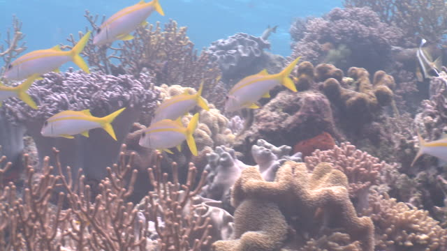 Yellow striped goatfish (Mulloidichthys vanicolensis) on reef