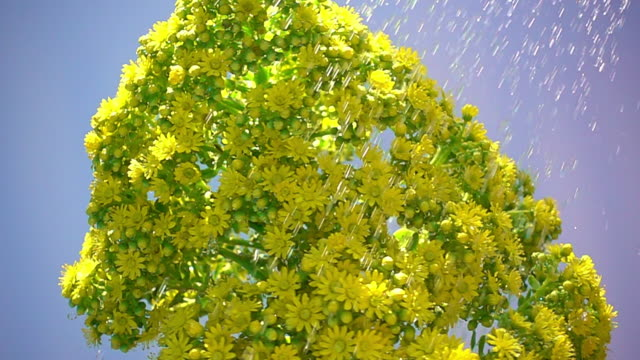 stockvideo's en b-roll-footage met yellow succulent flower - david ewing