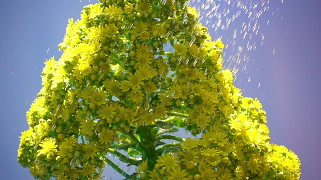 yellow succulent flower - david ewing stock videos & royalty-free footage