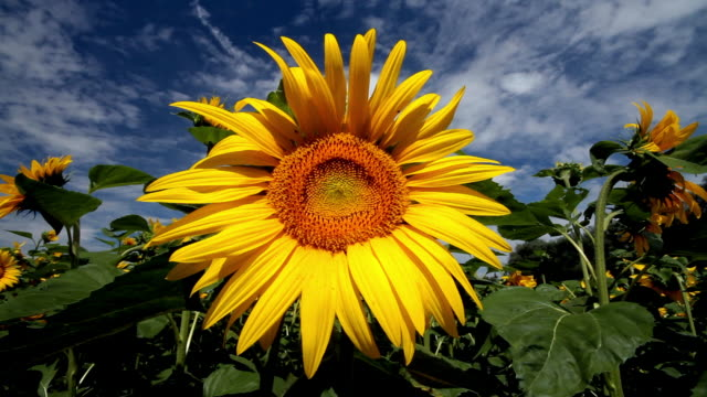 a yellow sunflower contrasts with a blue sky. - sunflower stock videos & royalty-free footage