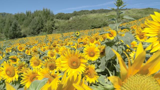 yellow sunflower field in kitakata, close up - ヒマワリ点の映像素材/bロール
