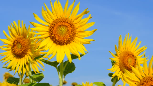 yellow sunflower pollens and petals with blue sky backgrounds - hd 25 fps stock videos & royalty-free footage