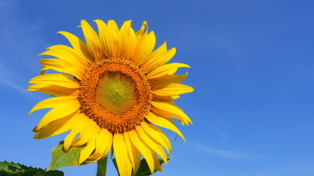 Yellow Sunflower Pollens and Petals with Blue Sky Backgrounds