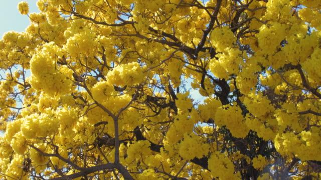 vídeos de stock e filmes b-roll de yellow tabebuia blown in the clear blue sky - amarelo