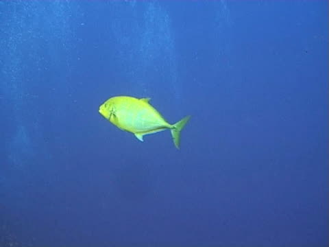 vidéos et rushes de yellow trevally in open water passing two trumpet fish - groupe moyen d'animaux