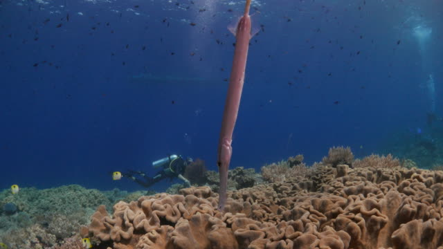 yellow trumpetfish, coral reef, indonesia - trumpet fish stock videos & royalty-free footage