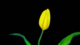 Yellow Tulip grows and blossoms, time-lapse with alpha channel