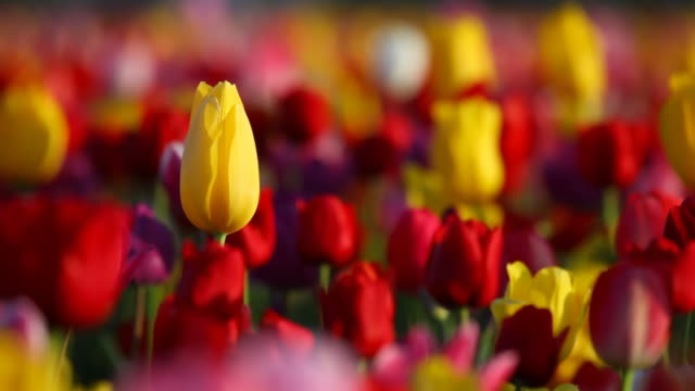 HD yellow tulip rising