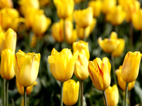 pal: yellow tulips flutter in the wind (video) - lily family stock videos & royalty-free footage