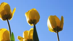 yellow tulips in the wind against the blue sky.bottom view