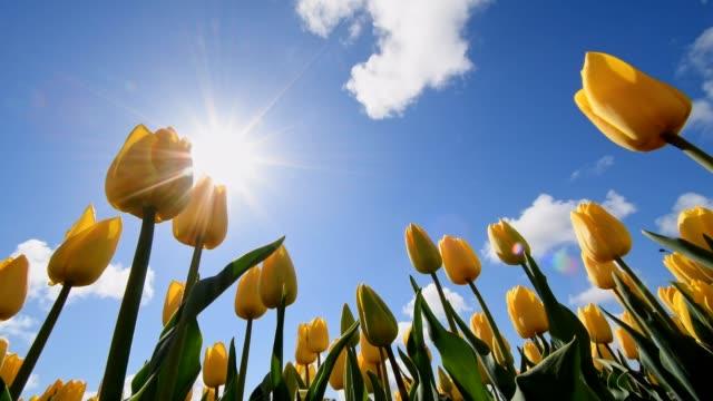 yellow tulips with blue sky and sun, noordwijkerhout, bollenstreek, south holland, netherlands - grodperspektiv bildbanksvideor och videomaterial från bakom kulisserna