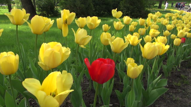 yellow tulips with one red moscow russia - standing out from the crowd stock videos & royalty-free footage