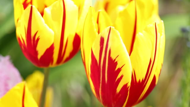 yellow variagated tulips growing in holehird gardens, windermere, lake district national park, cumbria, uk, in spring - plant bulb stock videos & royalty-free footage
