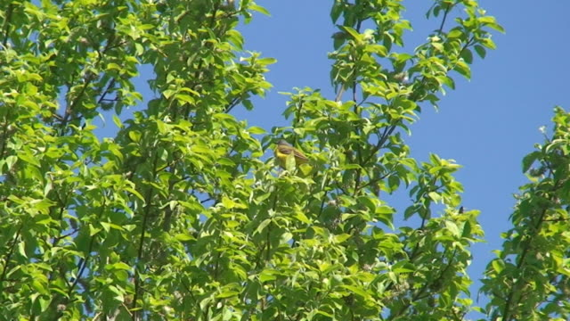 yellow wagtail on willow tree - branch plant part stock videos & royalty-free footage