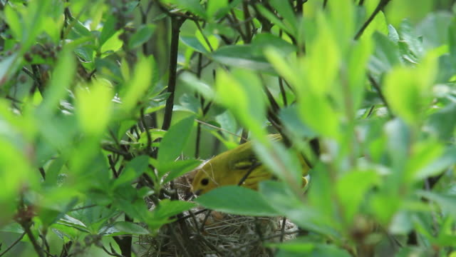 yellow warbler nest - warbler stock videos & royalty-free footage