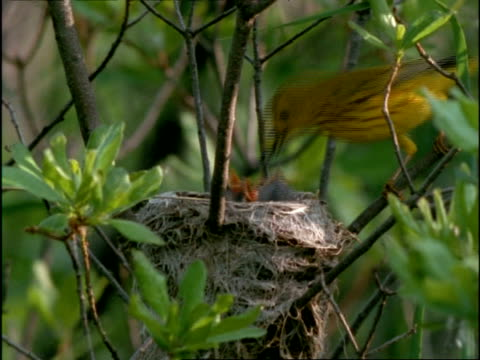 ms yellow warbler parents feeding chicks in nest, usa - warbler stock videos & royalty-free footage