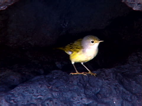 yellow warbler perched - warbler stock videos & royalty-free footage