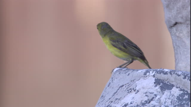 a yellow warbler perches on a statue then flies away. available in hd. - warbler stock videos & royalty-free footage