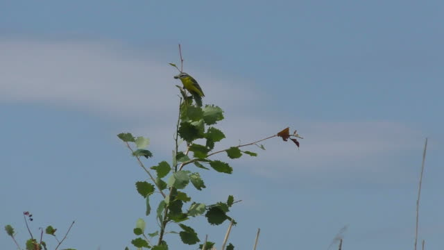 yellow warbler - warbler stock videos & royalty-free footage