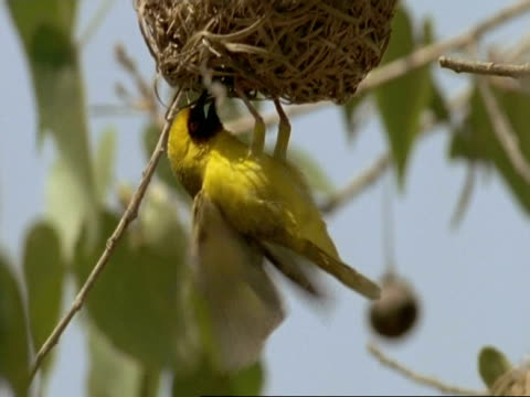 ms yellow weaver bird, male building nest, clinging to bottom, oman - bird's nest stock videos & royalty-free footage