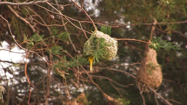 a yellow weaver bird weaves its nest in south africa. available in hd. - nest stock-videos und b-roll-filmmaterial