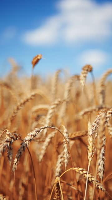 青空の黄色い小麦畑と白い雲の背景。小麦畑の金の耳。自由と気楽。美しい田園風景。 - 道を譲る点の映像素材/bロール