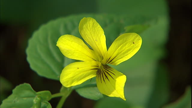 A yellow wildflower blossoms amid lush green leaves.