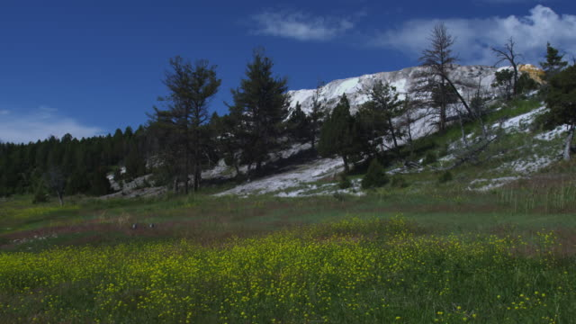 yellow wildflowers bloom in a meadow in west yellowstone. - yellowstone national park stock videos and b-roll footage