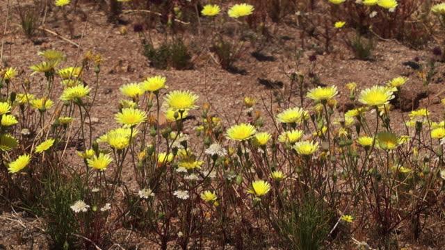 yellow wildflowers bloom in joshua tree national park. - wildflower stock videos & royalty-free footage