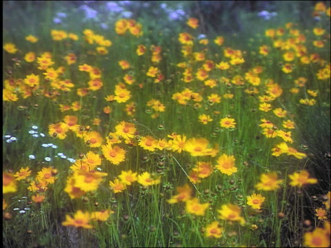vidéos et rushes de yellow wildflowers (cowpen daisies) in field blowing in wind / texas - marguerite