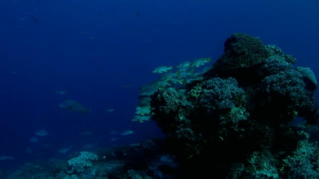 yellowband sweetlip sleeping on the rock underwater - humphead wrasse stock videos & royalty-free footage