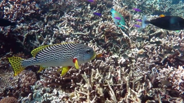 yellow-banded sweetlips, sipadan, malaysia - grunt fish stock videos and b-roll footage