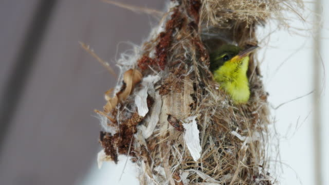 yellow-bellied sunbird making nest and bringing food to the nest. - bird's nest stock videos & royalty-free footage