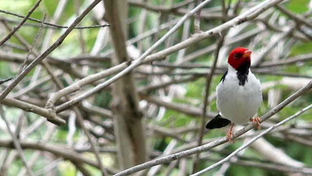 Yellow-billed Cardinal, Pantanal, Brazil