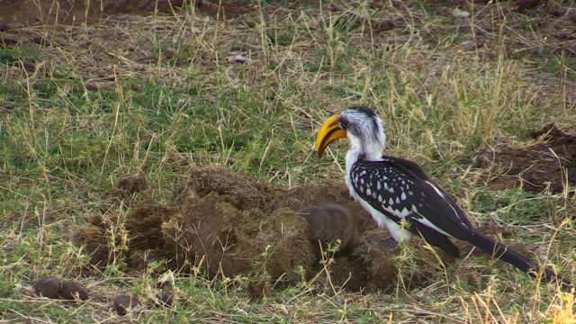 Yellow-billed Hornbill and Mongoose, Kenya birds