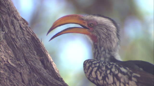 CU, Yellow-billed hornbill on tree, headshot, South Africa