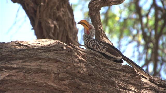 MS, LA, Yellow-billed hornbill on tree, South Africa