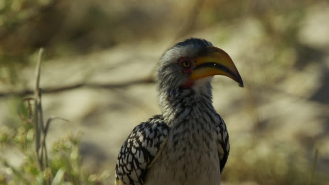 vidéos et rushes de cu yellow-billed hornbill perched on branch then flies off - un seul animal