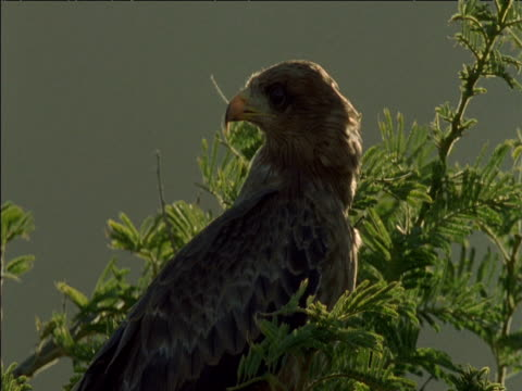 yellow-billed kite peers around in acacia tree, south africa - 姿勢をとる点の映像素材/bロール