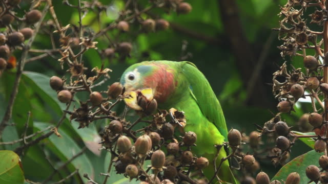 yellow-billed parrot (amazona collaria) feeding, jamaica - jamaica stock videos & royalty-free footage