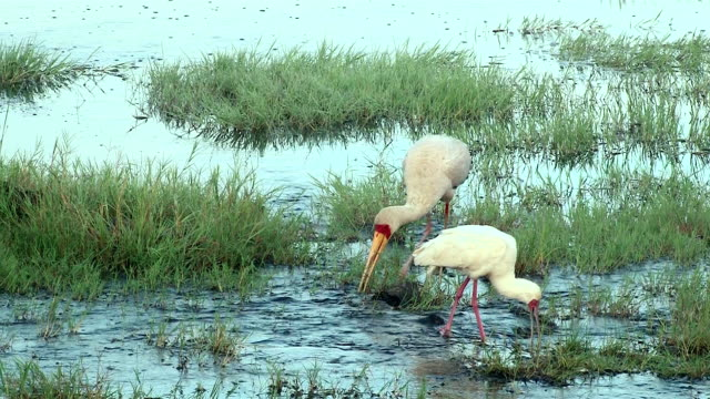 Yellow-billed Stork and African Spoonbill, Kenya birds