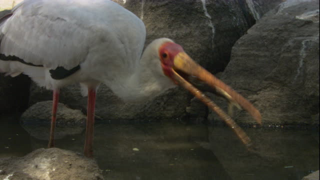 A yellow-billed stork wades in shallow water and eats catfish. Available in HD.