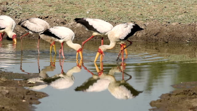 Yellow-billed storks foraging