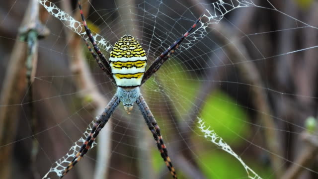 vídeos de stock, filmes e b-roll de aranha amarelo-preto no spiderweb-argiope bruennichi - invertebrado
