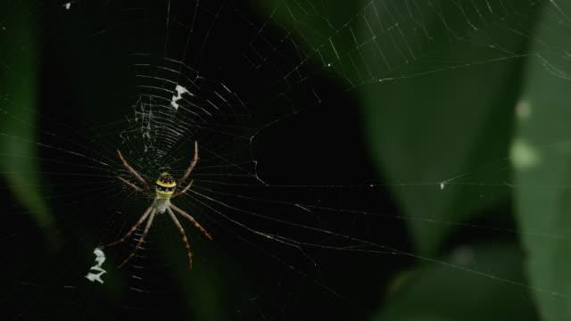 イエローにブラックのクモの巣たスパイダーウェブ-argiope bruennichi - 捕らわれる点の映像素材/bロール