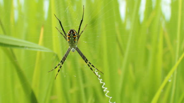 yellow-black spider in her spiderweb - arachnophobia stock videos & royalty-free footage