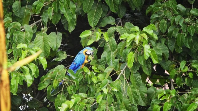yellow-blue tropical parrot feeding from fruits on a tree - mayan riviera stock videos & royalty-free footage