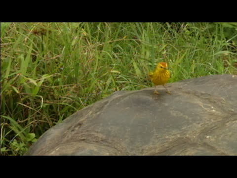 yellow-colored finch hopping around on shell of galapagos tortoise (geochelone elephantopus) / galapagos islands - tortoise shell stock videos & royalty-free footage