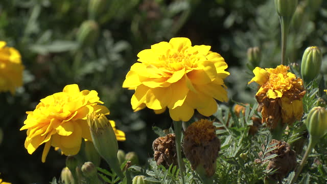yellow-colored french marigolds (tagetes patula) - biei town stock videos & royalty-free footage